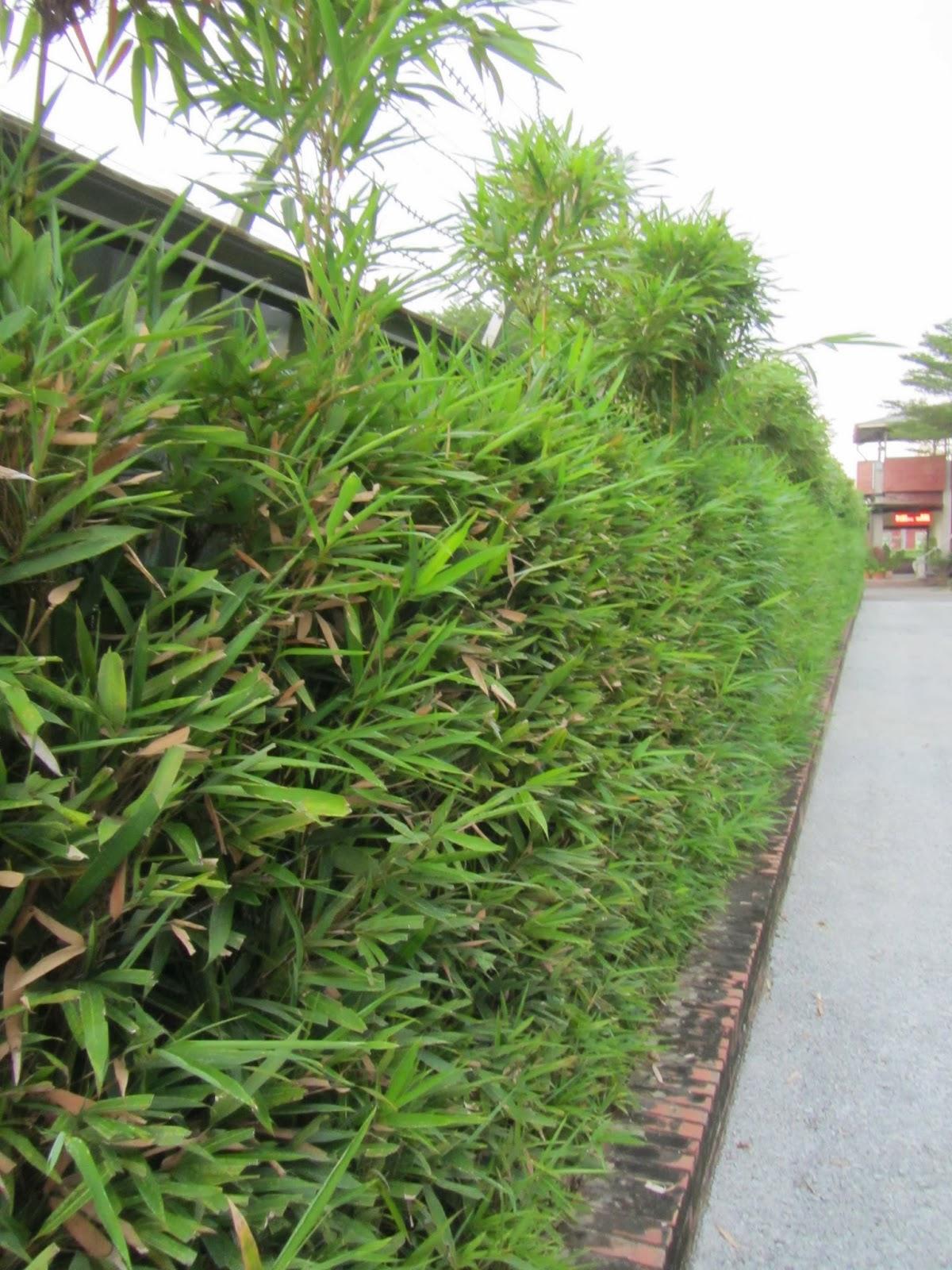 Estudiando agricultura en taiw n seto de bamb entre - Seto de bambu ...