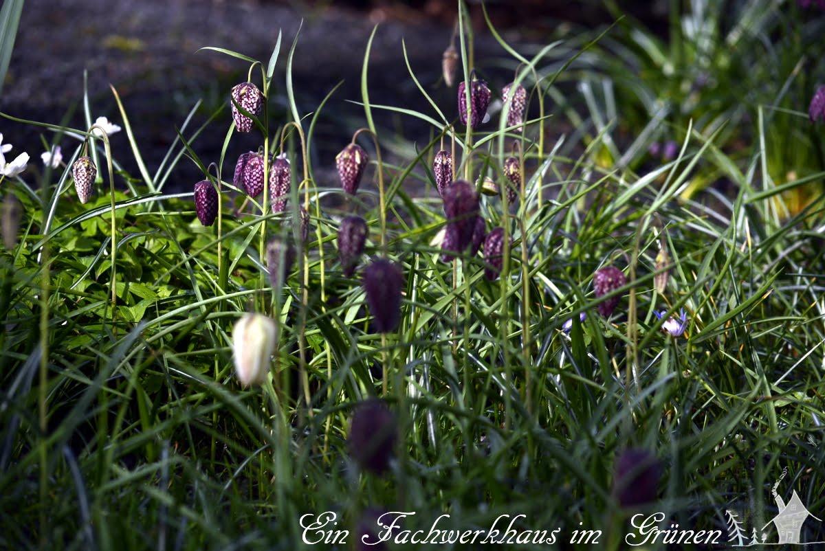 Schachbrettblume, Schachblume, Gartenblog