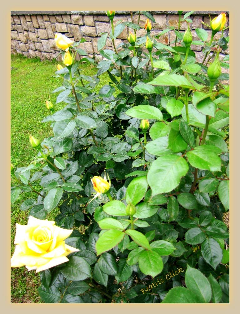 Beatris Click Boccioli Di Rosa In Un Giorno Di Sole