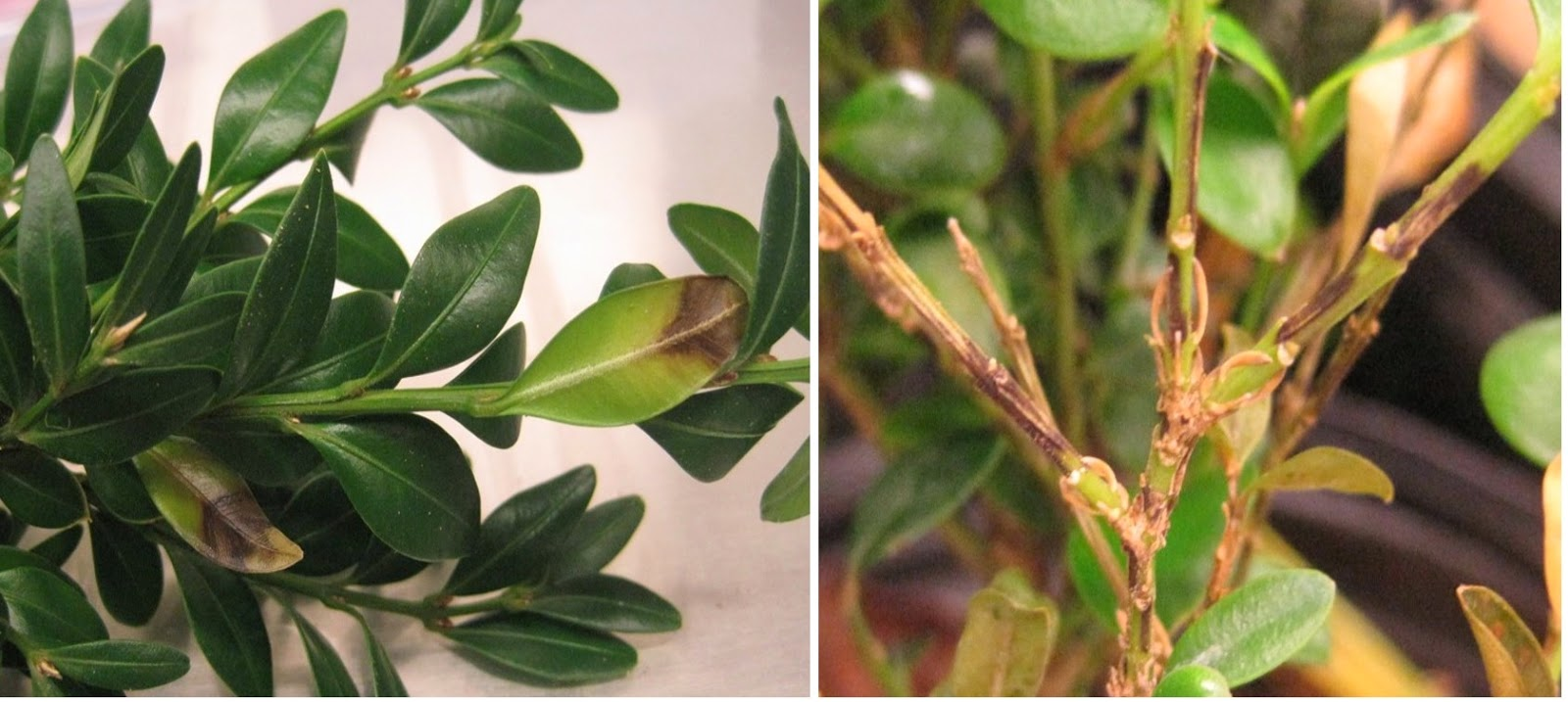 dark leaf spots and dark stem streaks, as well as leaf loss, are typical symptoms of boxwood blight