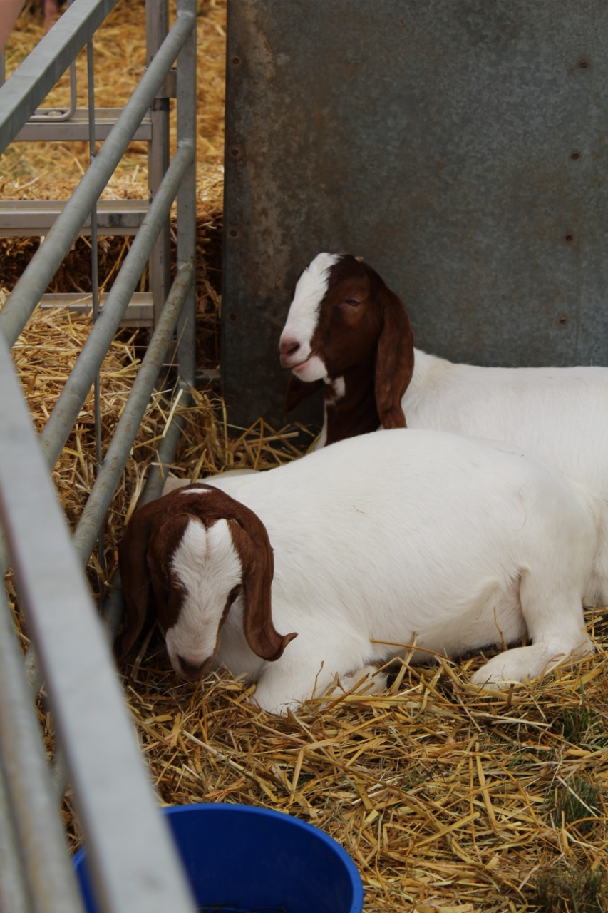 Goats at Adams Farm