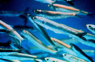 Klasifikasi dan Morfologi Ikan Teri Lengkap