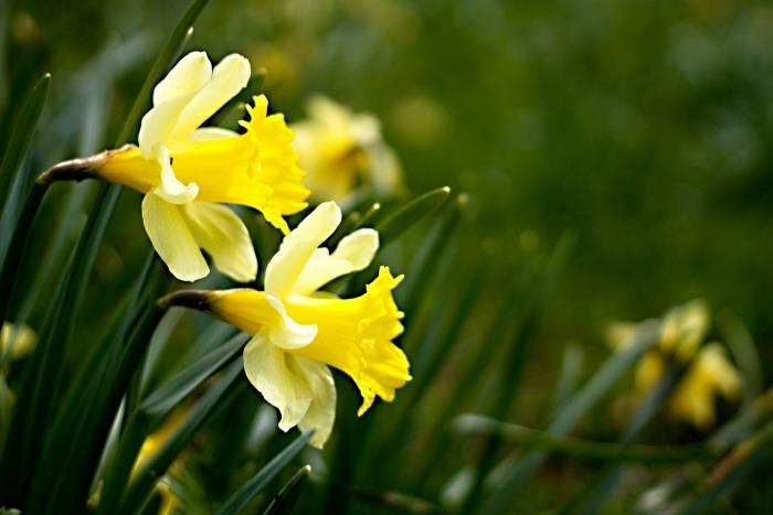 Narcisos Silvestres Muchos En Peligro De Extincion Guia De Jardin - Narcisos-amarillos
