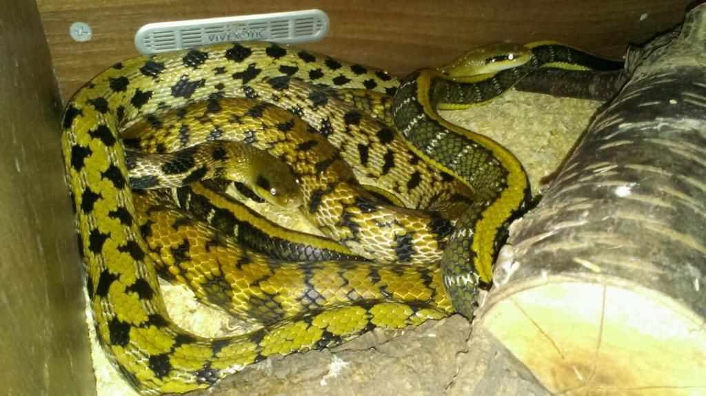 Breeders / Retailers / Lists / taiwanese beauty snakes For Sale