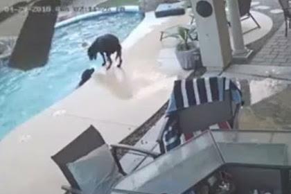 Anjing Melompat ke Kolam Selamatkan Sahabatnya yang Nyaris Tenggelam