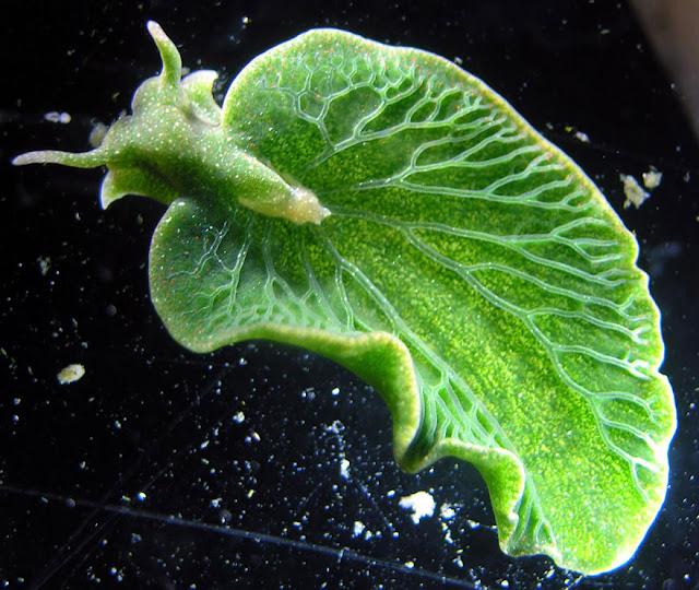 Siput Daun (Elysia Chlorotica)