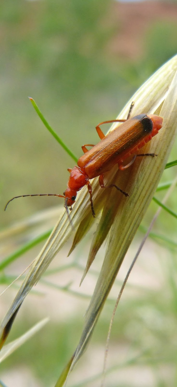 Picture of black tipped orange beetle.