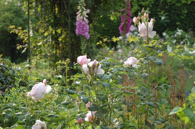 digitalis, vingerhoedskruid en rozen