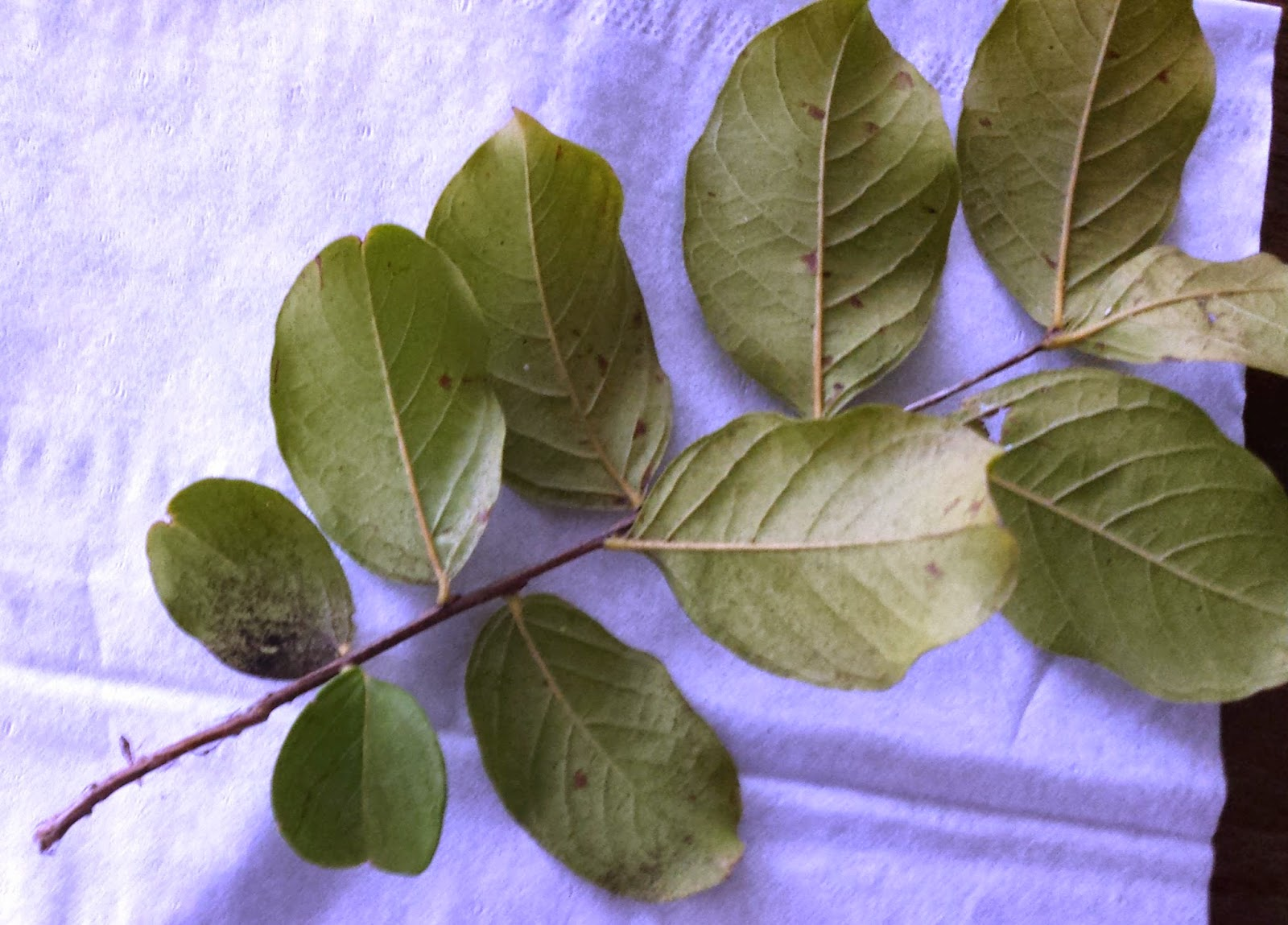 Xtremehorticulture Of The Desert Leaves Of Crepe Myrtle