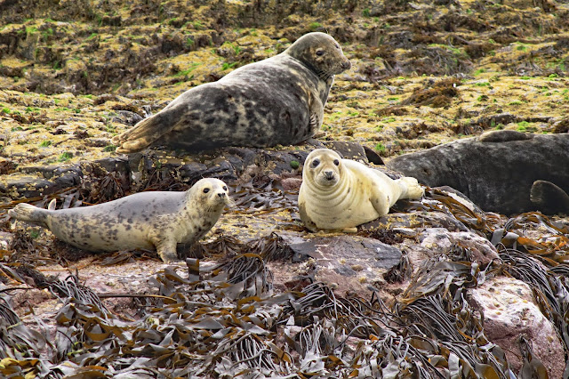 Buy Photo Art of Farne Island Grey Seals