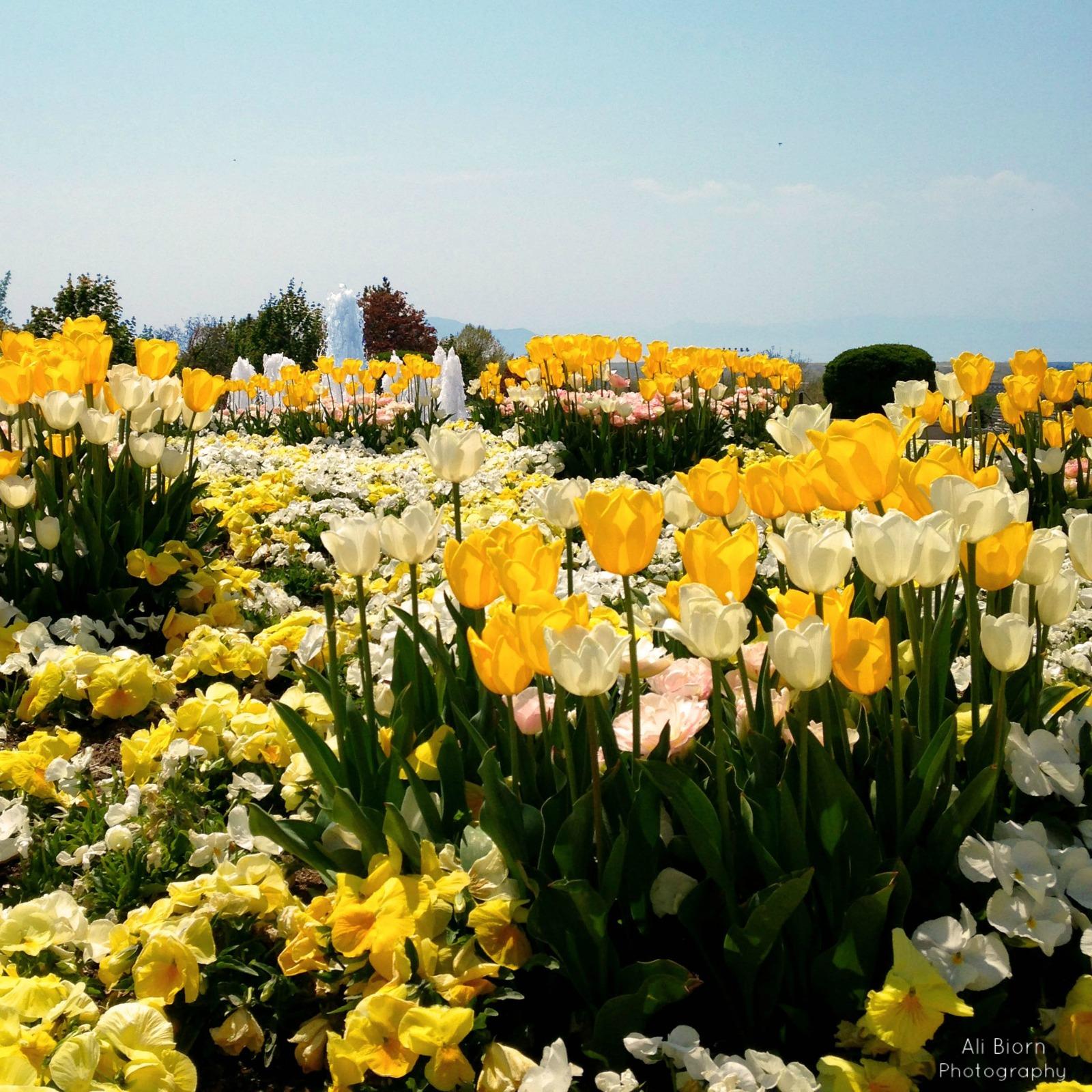 Yellow and White tulips in Provo Utah