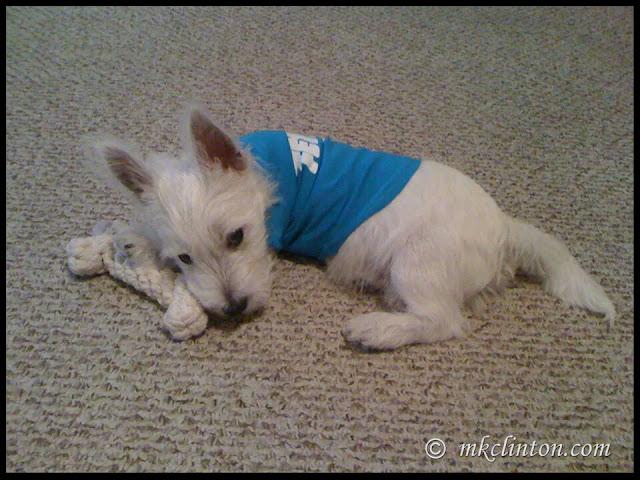 White West Highland Terrier puppy