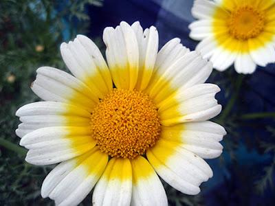 Crisantemo silvestre (Chrysanthemum coronarium discolor)