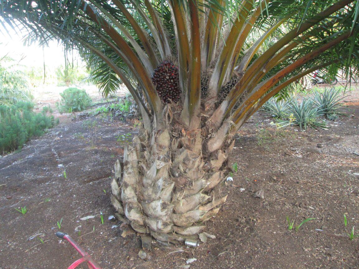 Dijual Kebun Sawit 700 ha Duri Riau - Info Kebun Sawit Dijual