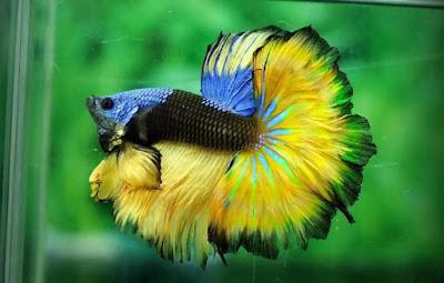 Ikan Cupang Halfmoon - Budidaya Ikan Cupang