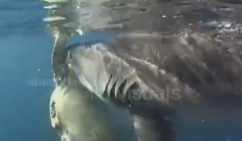 TIGER shark ATTACKS sea turtle - YouTube |Tiger Sharks Attack Turtle