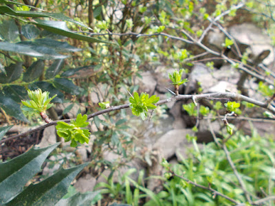 Hawthorn (Crataegus) Green Fingered Blog