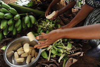 Côte d'Ivoire is the largest exporter in the Western African region of bananas followed by Cameroon, Ethiopia and Ghana.