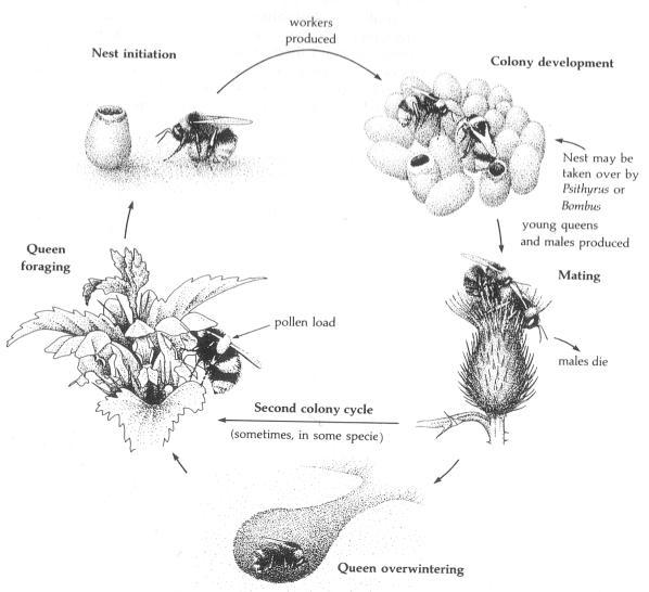 مدونة النحلة العربية: دورة تربية النحل : دورة حياة النحل