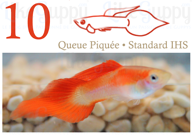 guppy-queue-piquee-standard-ihs