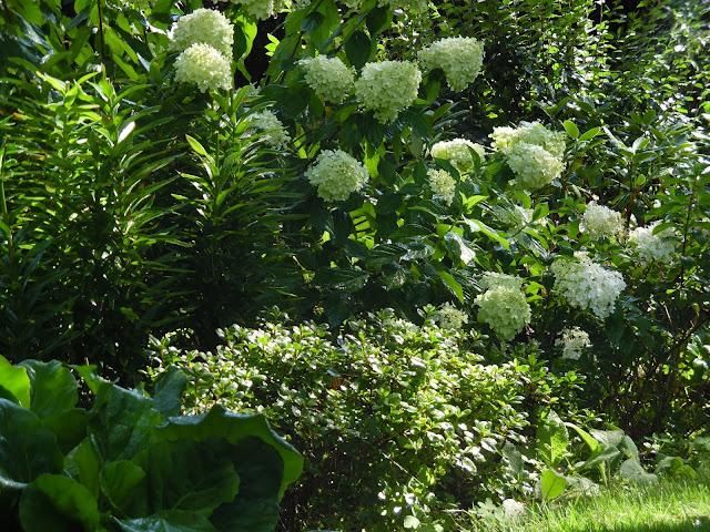 hortensja bukietowa Limelight, azalie, lilie i bergenie