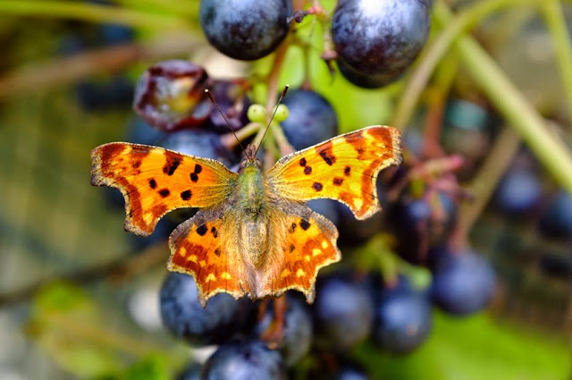 butterfly on a grape, macro shot