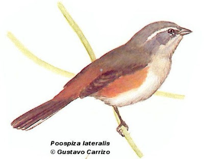 Red  rumped Warbling Finch
