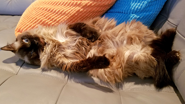 image of Matilda the Fuzzy Sealpoint Cat lying on the couch on her back, making a silly face