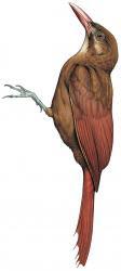 Hylexetastes perrotii