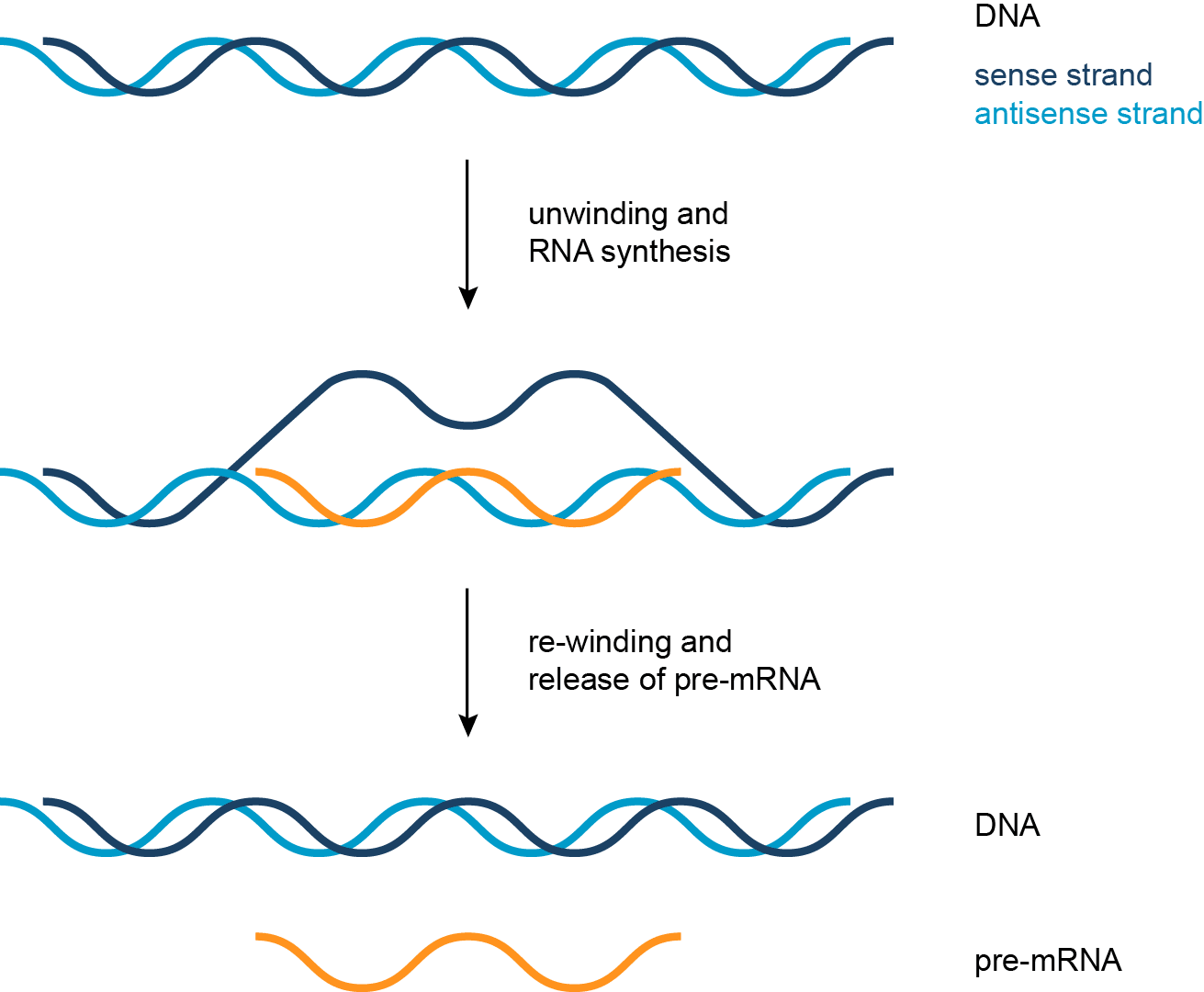 Jordan S Grade 12 Biology Blog Key Points Of Dna