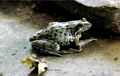 Common Garden Frog in the garden, Kent.