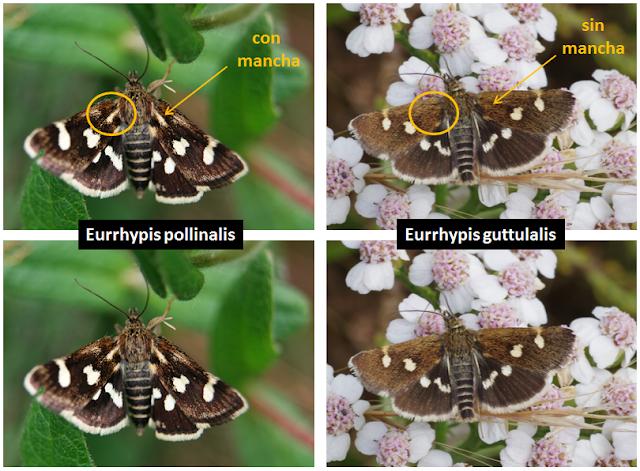 Diferencias entre Eurrhypis guttulalis y Eurrhypis pollinalis