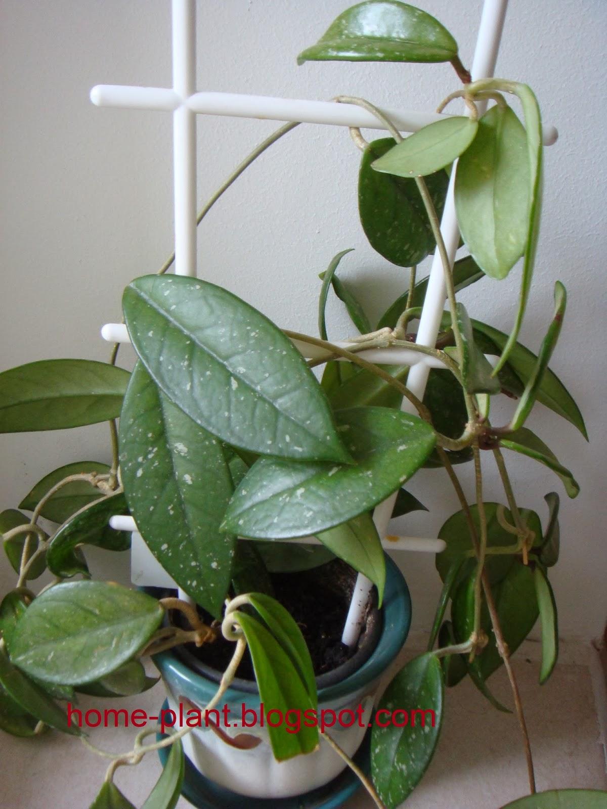 растение мужегон фото состояние