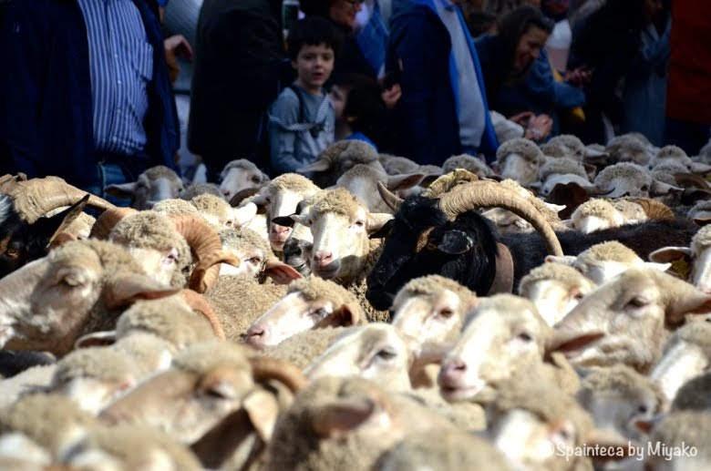 Fiesta de la Trashumancia Madrid  マドリードの旧市街を通る羊と群に混ざる山羊