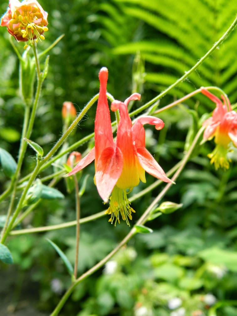 Wild columbine Aquilegia canadensis by garden muses-not another Toronto gardening blog