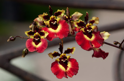 Grow and care Tolumnia orchid