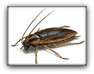Como eliminar cucarachas bricomaniacos - Eliminar insectos en casa ...