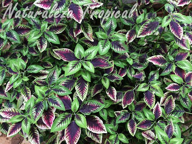 Vista del follaje de la planta ornamental Euphorbia 'Flame Leaf'