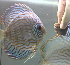 Feeding Beef Heart to Discus