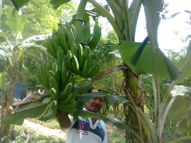 Petani Pisang di Kalianda Provinsi Lampung