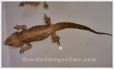 bearded dragon rescue
