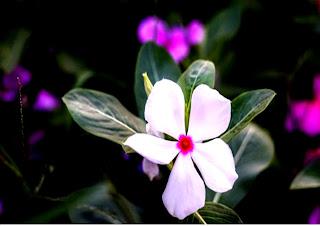 lembut dan disukai oleh semua yang melihatnya laki ataupun perempuan Gambar Aneka Bunga d Gambar Aneka Bunga dan Keterangannya