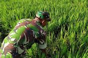 Sertu Sugiarno Monitor Tanaman Padi di Desa Bedaro Rampak
