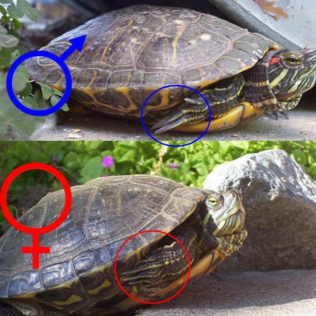 Tortuga de florida reproduccion asexual