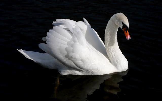 Foto van een witte zwaan