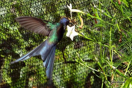 Beija-flor tesoura na Ipoméia esqueleto