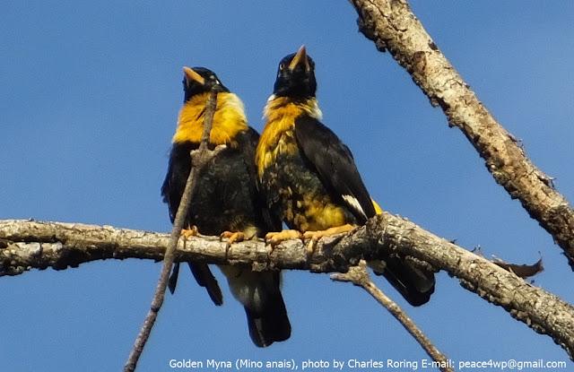 Golden Myna bird in lowland forest of West Papua