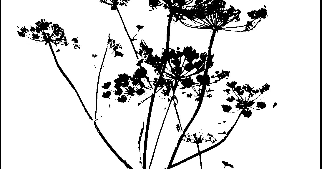 digitalgran: Cow Parsley and the Gimp