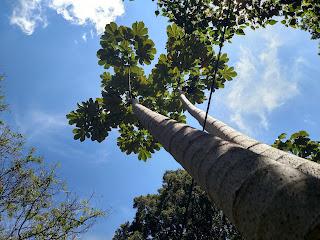 Yarumo – cecropia angustifolia colombia andes tree arbol leaves bark single trunk