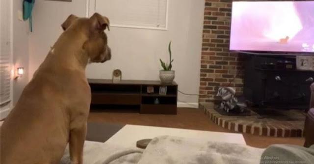 Σκύλος Παρακολουθεί Τον «Βασιλιά Των Λιονταριών» Και Κλαίει Όταν Πεθαίνει Ο Μπαμπάς Του Σίμπα
